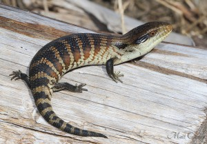 1024px-Juvenile_Eastern_Blue-tongued_Skink_(9004112417)
