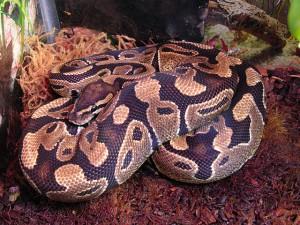 640px-Female_Ball_python_(Python_regius)