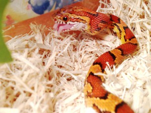 Corn_snake_eating_baby_mouse