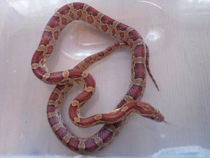gimli_the_corn_snake_by_inso_litary
